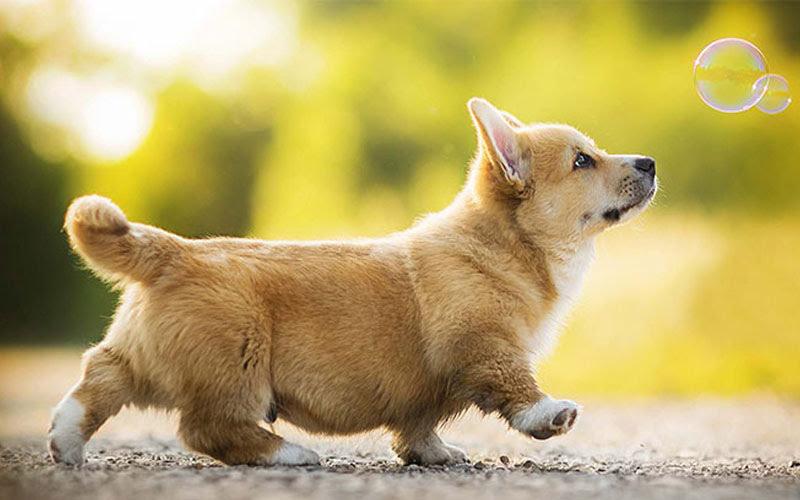 Mộng thấy chó vàng chạy vào nhà