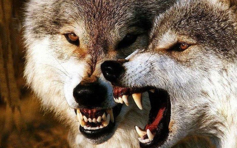 Giấc mơ thấy bị chó sói cắn
