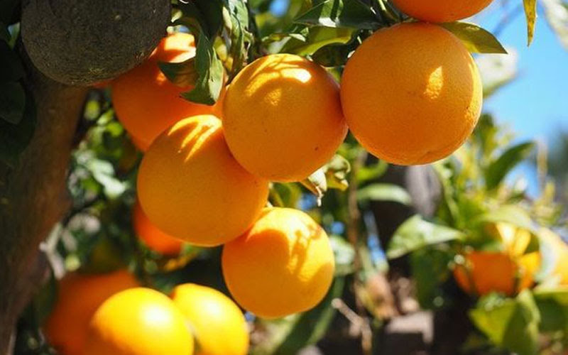 Ngủ mơ thấy quả cam trên cây