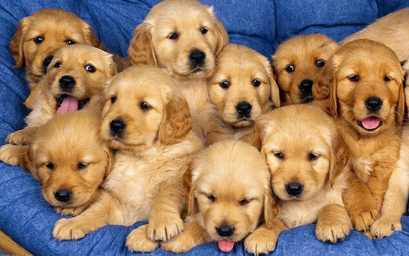 Chiêm bao thấy cả đàn chó vàng